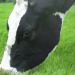 Add Grass to High-Forage Dairy Diets